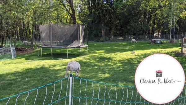 raising sheep in my yard
