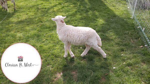 raising lamb in my front / back yard